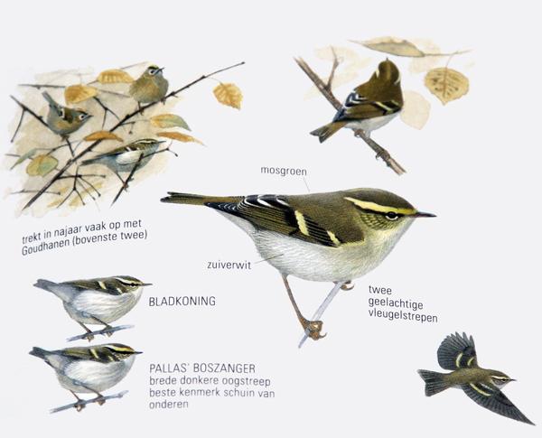 Bladkoning - ANWB Vogelgids van Europa