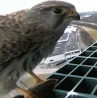 Torenvalk vrouwtje bij webcam in Scheveningen