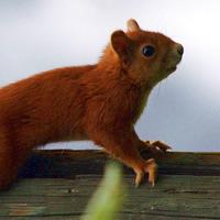 rode eekhoorn, foto: Adriaan Dijksen Foto Fitis