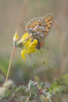 Kleine parelmoervlinder door Nico van Kappel