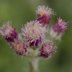Rozenkransje, Bestoven Vrouwelijke Plant