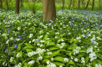 Voorjaarsbos daslook en wilde hyacinth door Nico van Kappel